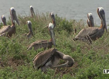 Brown Pelicans at Queen Bess Island