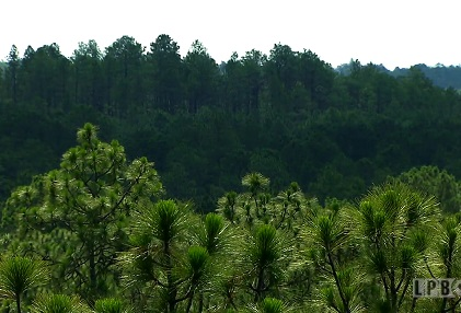Trees at Kisatchie National Forest