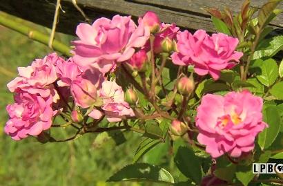 Roses at the American Rose Center Gardens in Shreveport