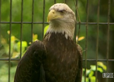 Eagle at the Monroe Zoo