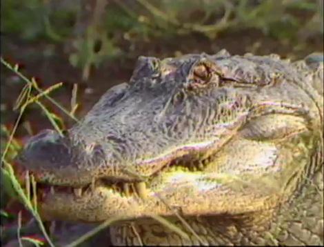 Alligator at Rockefeller Widlife Refuge